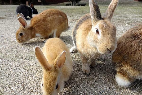 Остров кроликов Окуносима в Японии