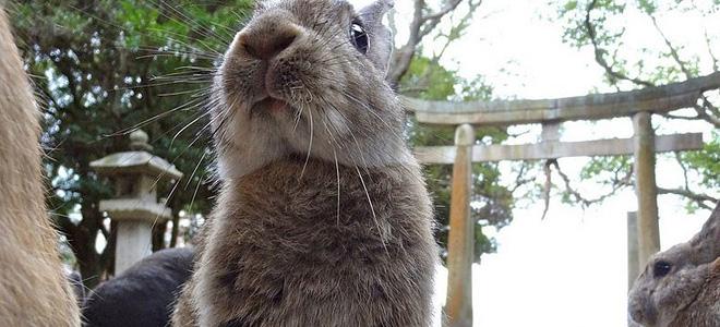Остров кроликов Окуносима в Японии (9 фото)