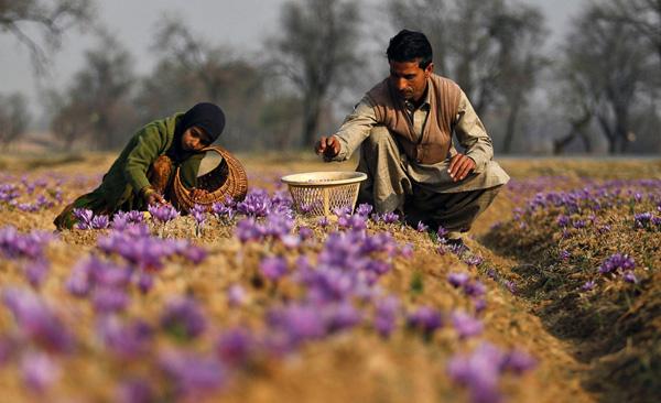 Шафран из Кашмира