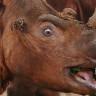 Суматранский носорог (5 фото)