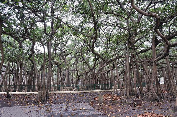 Великий баньян - дерево с самой обширной кроной