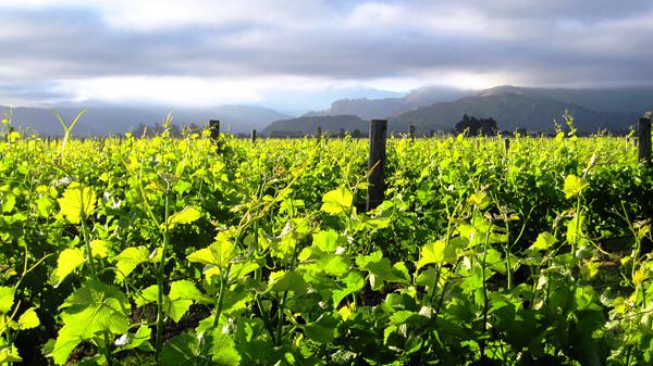 Красота виноградных плантаций