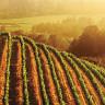 Красота виноградных плантаций (15 фото)