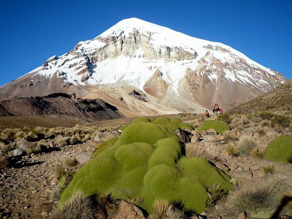 Ярета вечнозеленое растение Южной Америки