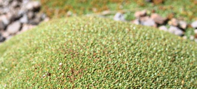 Ярета — вечнозеленое растение Южной Америки (7 фото)