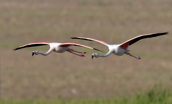 Фламинго изящные и необычные