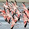 Фламинго — изящные и необычные (9 фото)