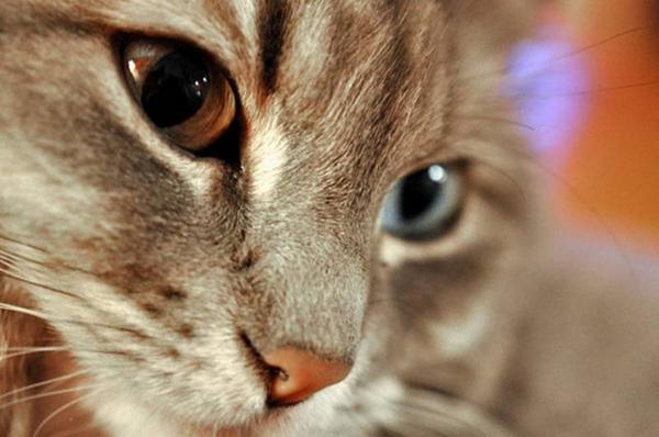 Гетерохромия у животных