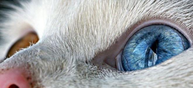 Гетерохромия у животных (7 фото)