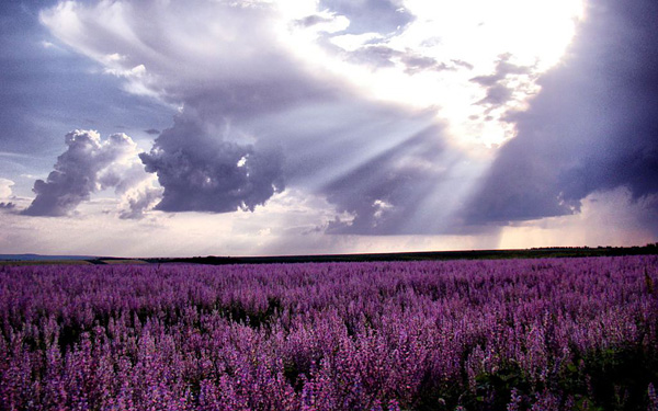 Лавандовые поля Прованса