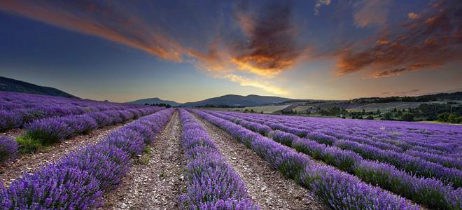 Лавандовые поля Прованса (17 фото)