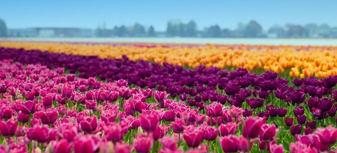 Тюльпаномания и поля тюльпанов в Голландии (17 фото)
