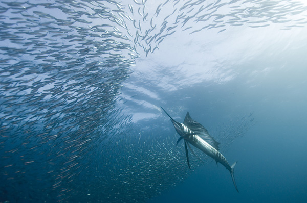 Самая быстрая рыба в мире парусник