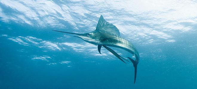 Парусник — самая быстрая рыба в мире (5 фото)