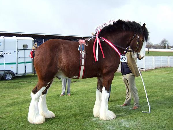 Лошади породы шайр - самые большие в мире