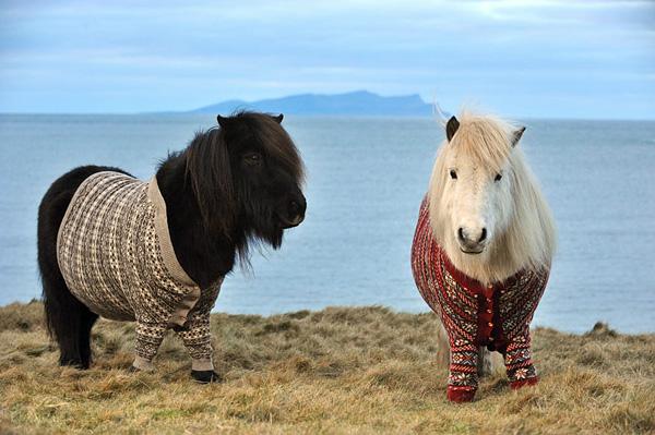 Шетлендские пони в свитерах