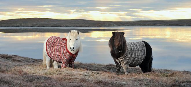 Шетлендские пони в свитерах (7 фото)