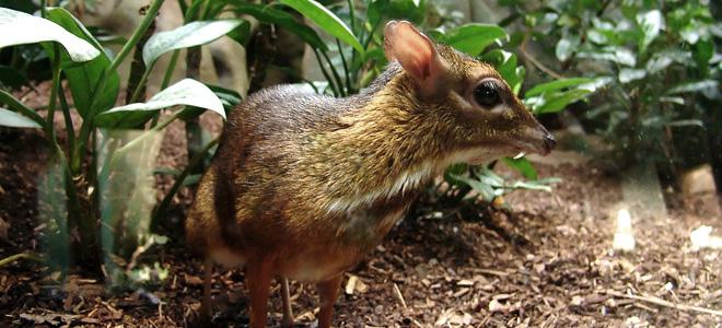 Яванский канчиль — самый маленький из парнокопытных (5 фото)