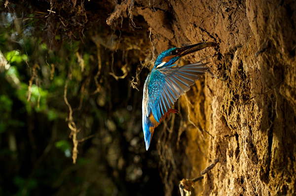 Зимородок - король-рыбак