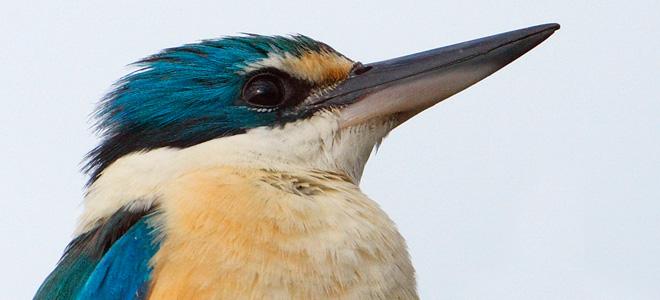 Король-рыбак зимородок (11 фото)