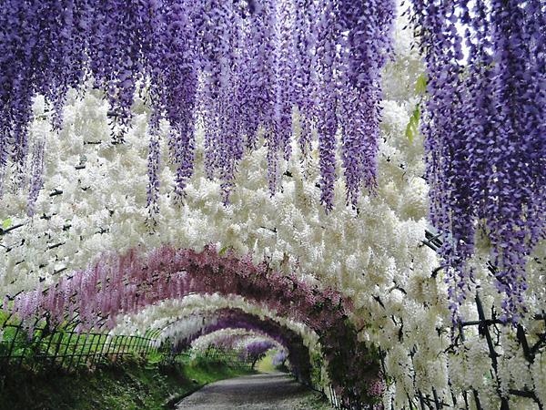 Тоннель глициний в саду цветов Кавати Фудзи