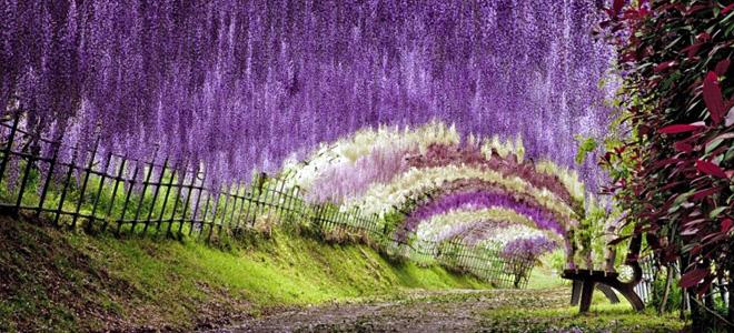 Тоннель глициний в саду цветов Кавати Фудзи (5 фото)