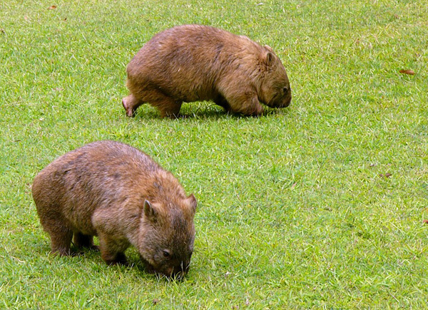 Вомбат - животные Австралии