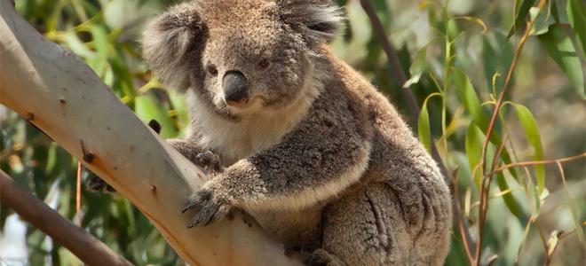 Сумчатый медведь коала (7 фото)