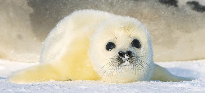 Гренландский тюлень (7 фото)