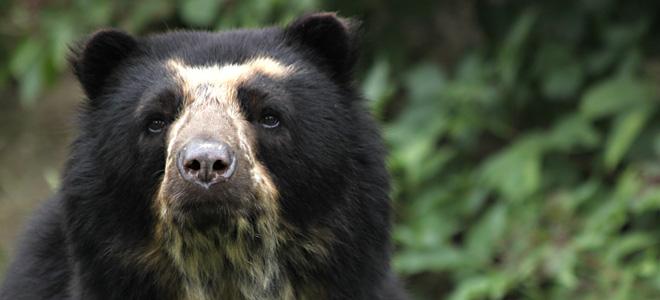Очковый медведь (7 фото)