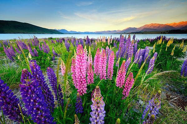 Цветущие поля люпинов на озере Текапо (5)
