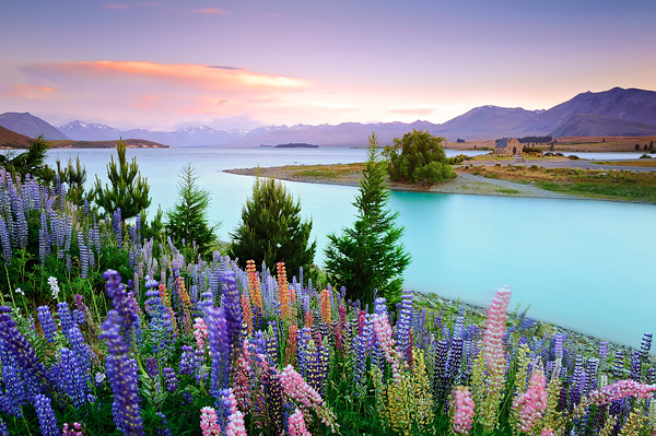 Цветущие поля люпинов на озере Текапо (4)