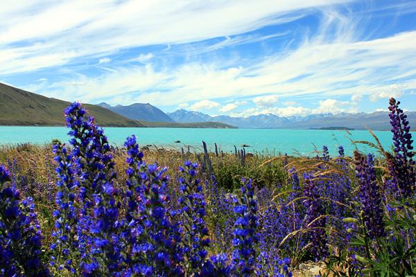 Цветущие поля люпинов на озере Текапо (3)