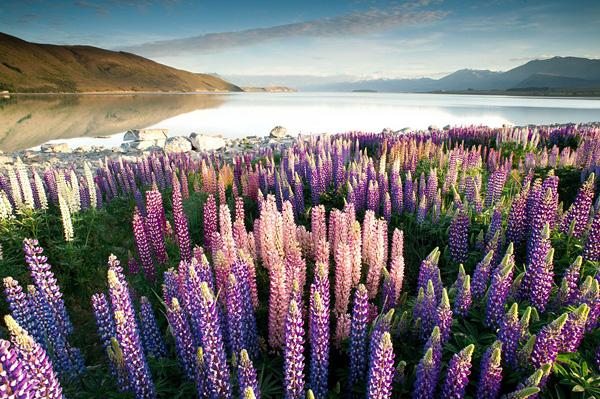 Цветущие поля люпинов на озере Текапо (13)