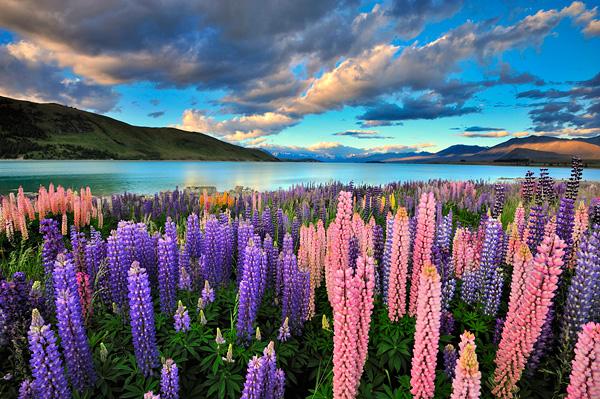 Цветущие поля люпинов на озере Текапо (10)