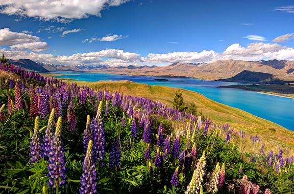 Цветущие поля люпинов на озере Текапо (9)