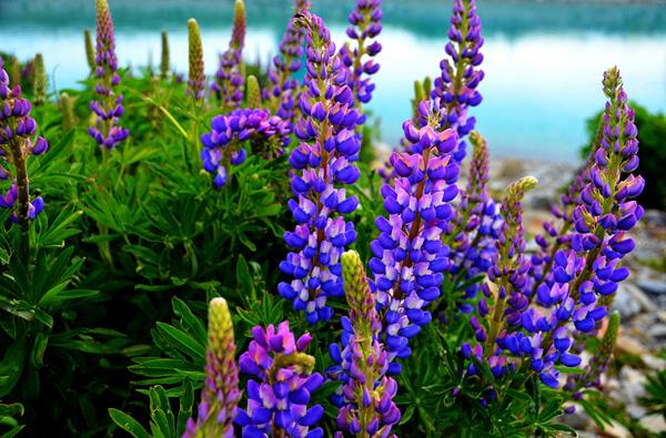 Цветущие поля люпинов на озере Текапо (7)