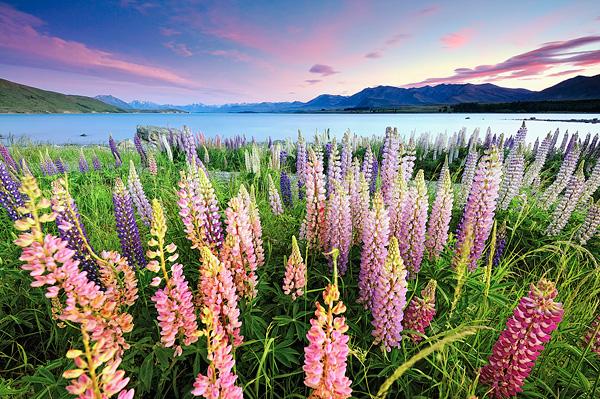 Цветущие поля люпинов на озере Текапо (6)