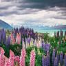Цветущие поля люпинов на озере Текапо