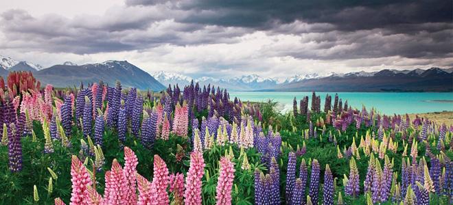 Цветущие поля люпинов на озере Текапо (13 фото)