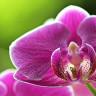 Орхидея — королева цветов (5 фото)